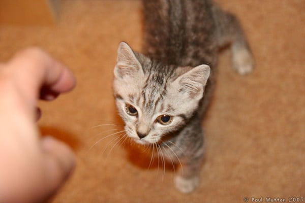 40-pictures-of-cute-silver-tabby-kittens-40