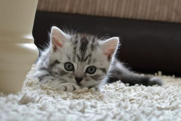40-pictures-of-cute-silver-tabby-kittens-7
