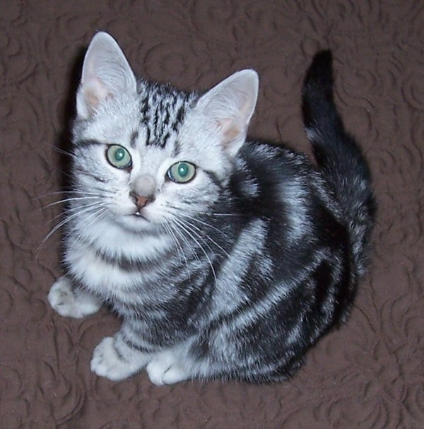 40-pictures-of-cute-silver-tabby-kittens-8