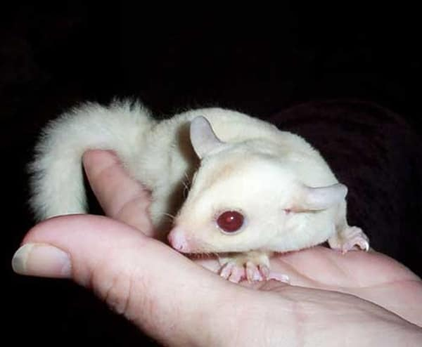 5-common-health-problems-with-albino-pets-5