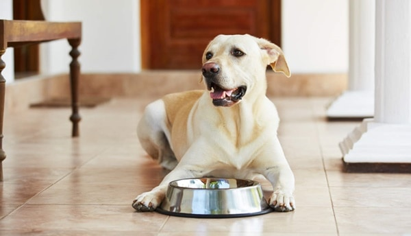 healthy-tips-about-how-to-take-care-of-your-labrador-retriever-2