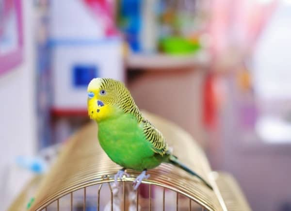 how-to-prevent-your-pet-birds-from-bird-flu-2