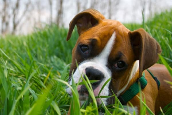 why-dogs-eat-grass-and-how-to-stop-it-5