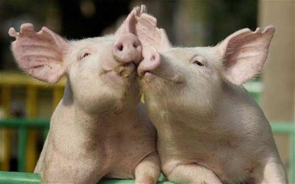 40-heart-melting-pig-pictures-that-can-make-your-day-12
