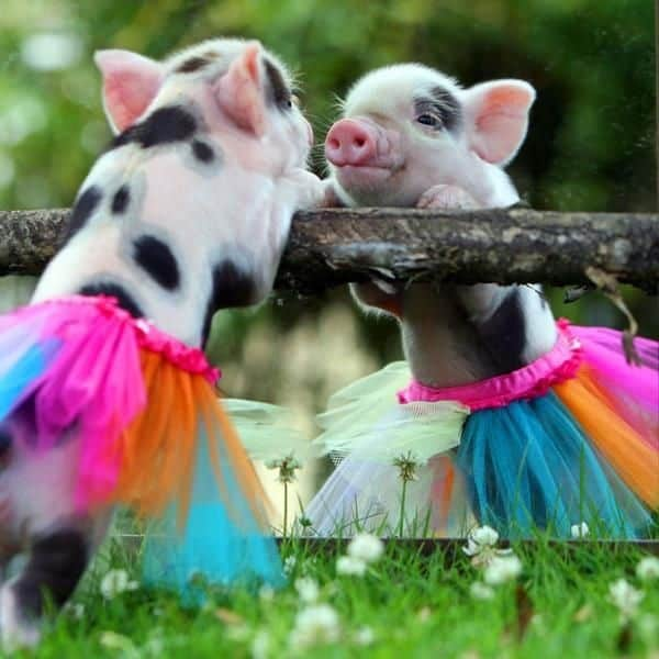 40-heart-melting-pig-pictures-that-can-make-your-day-25