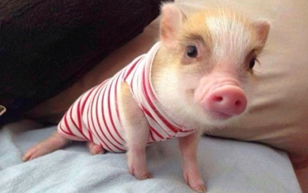 40-heart-melting-pig-pictures-that-can-make-your-day-30