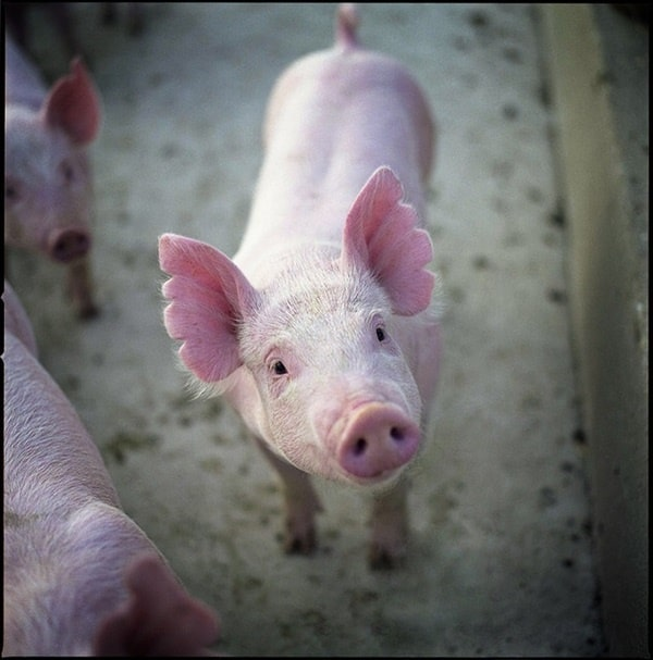 40-heart-melting-pig-pictures-that-can-make-your-day-35