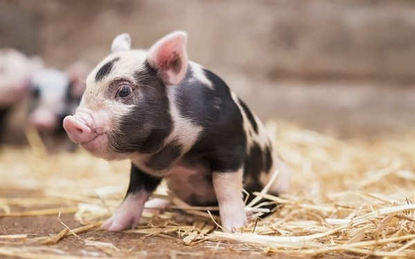 40-heart-melting-pig-pictures-that-can-make-your-day-40