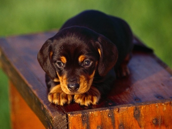 Cheapest Dog Breeds