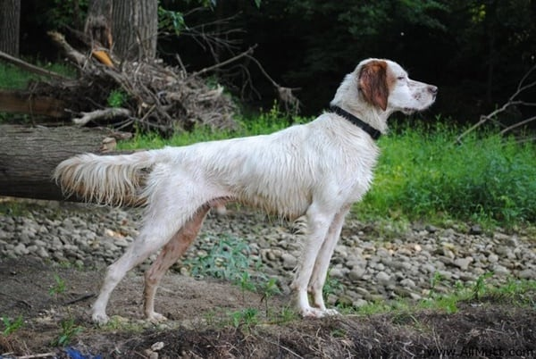 Affordable Hunting Dog Breeds