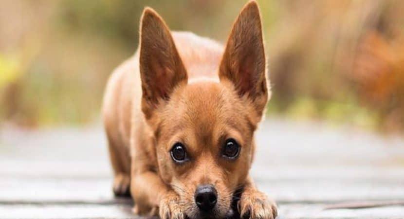 Can I Afford A Dog Calculator