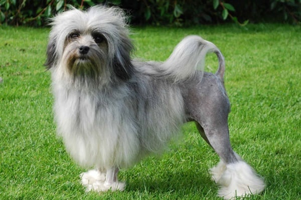The Most expensive dog breeds