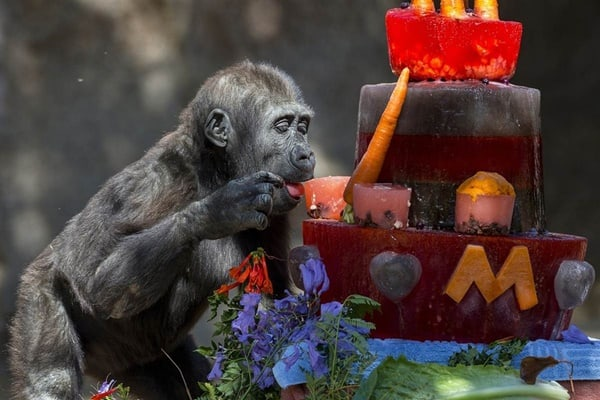 pictures of zookeepers celebrating birthdays of zoo animals 39