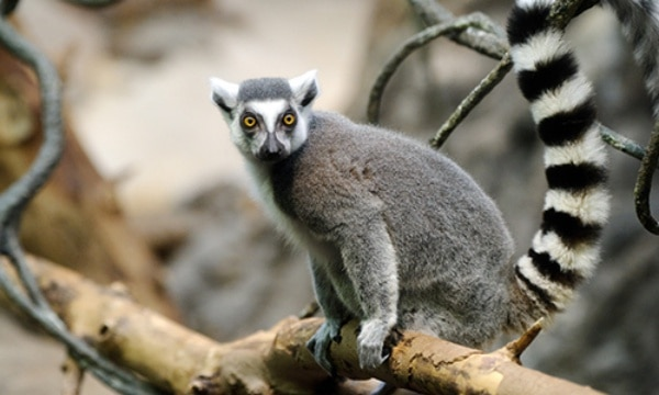 an introduction to the various species of lemurs in the world today Amongst all of the animals facing extinction in the world currently, perhaps   endangered primates list — apes, gibbons, monkeys, lemurs,.