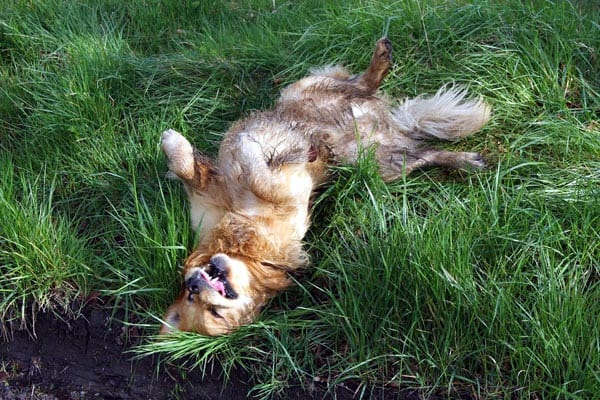 How Do You Train Your Dog To Roll Over