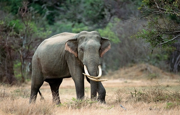 Different Species of Elephants Still Exist