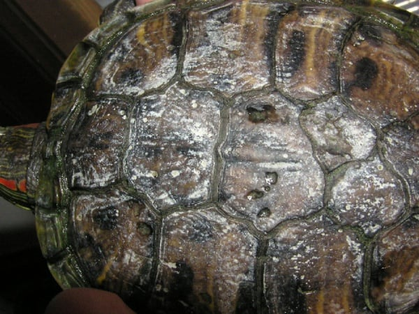 Causes-of-Bacterial-Infection-In-Turtles-and-Tortoises