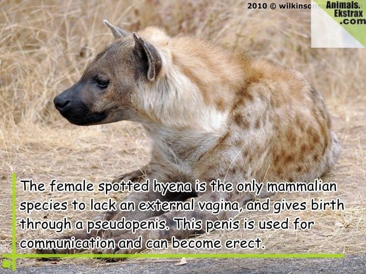 200190-spotted-hyena-kruger-park-30082010