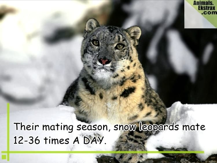 Relaxing_Snow_Leopard