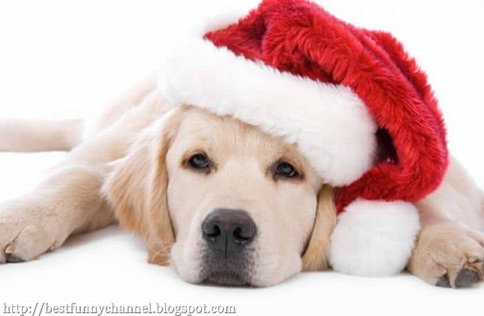 Pictures Of Cute Animals In Beautiful Christmas Attire