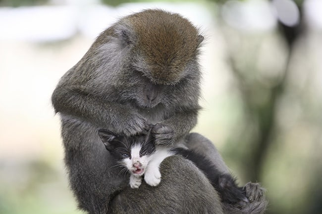 Long Tailed Monkey Acts As Mother To A Kitten