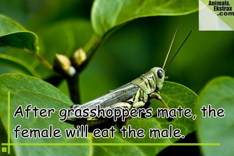 grasshopper-copy
