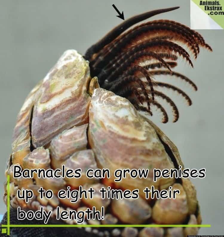 o-BARNACLE-PENIS-facebook