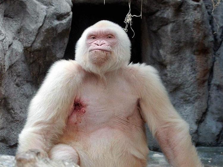 Albino-Gorilla