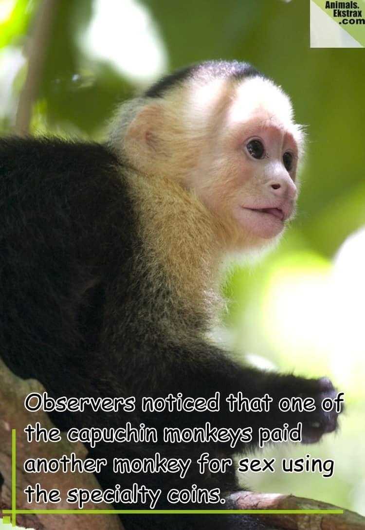 young-capuchin-by-matthew-wyczalkowski