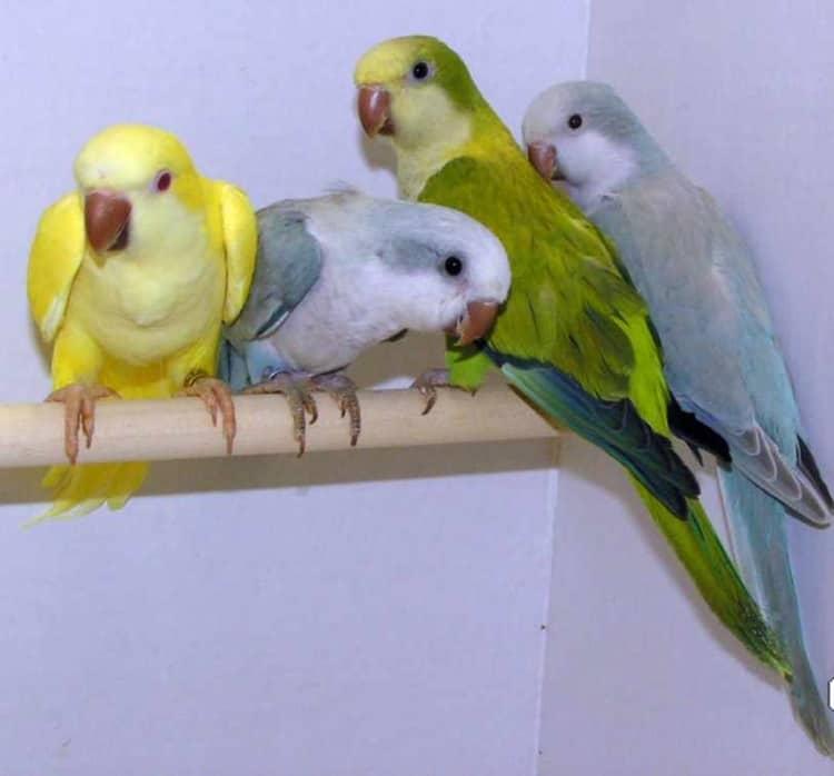1Quaker parakeets