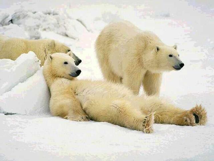 3-lazy-polar-bears