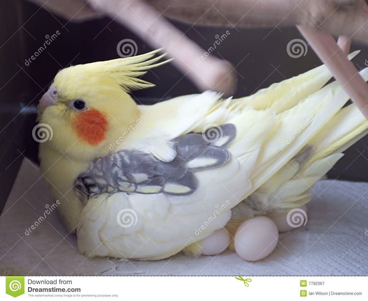 http://www.dreamstime.com/royalty-free-stock-photography-cockatiel-incubating-eggs-image7792367