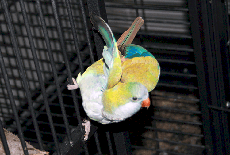 4Quaker parakeets