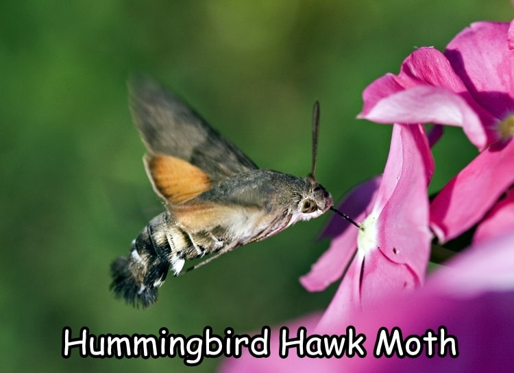 Hummingbird_Hawk-moth