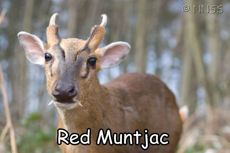 Red Muntjac