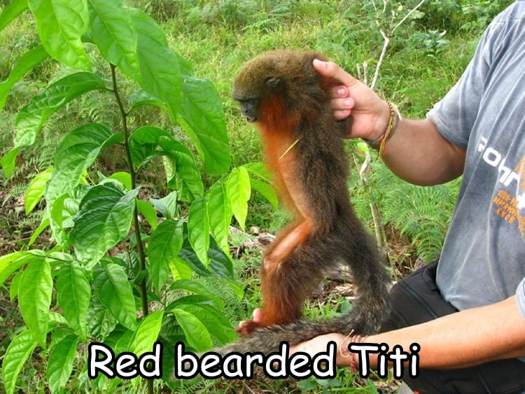Red bearded Titi