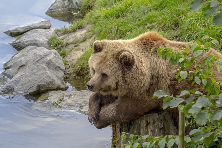 Resting-bear
