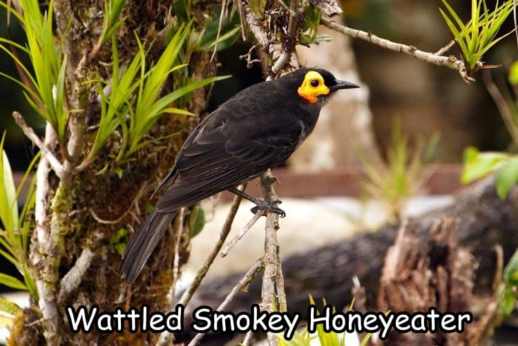 Wattled Smokey Honeyeater