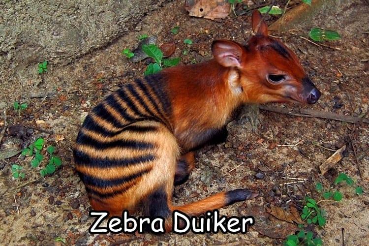 Zebra Duiker
