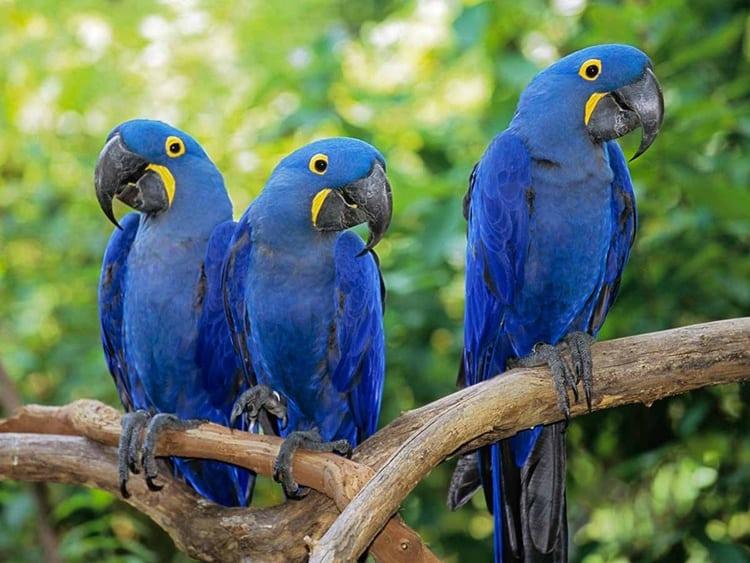 5693.03 Hyacinth Macaws
