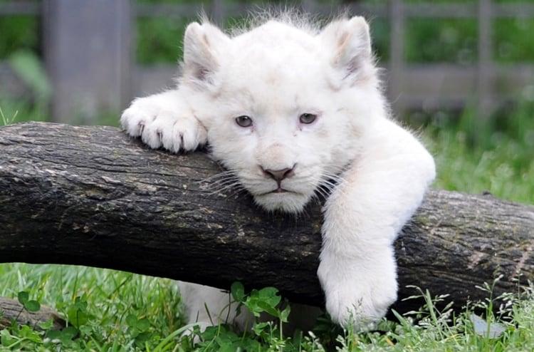 FRANCE-ANIMALS-LION-CUB