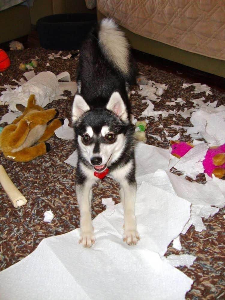dogs bad habbits (13)