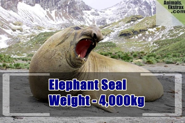 heaviest animals in the world (6)
