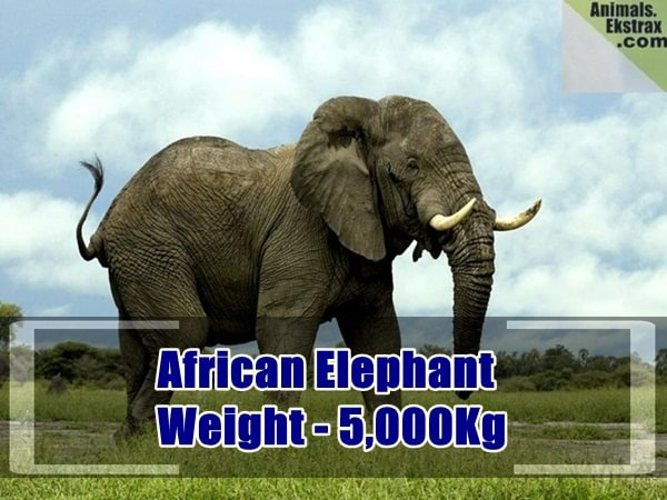 heaviest animals in the world