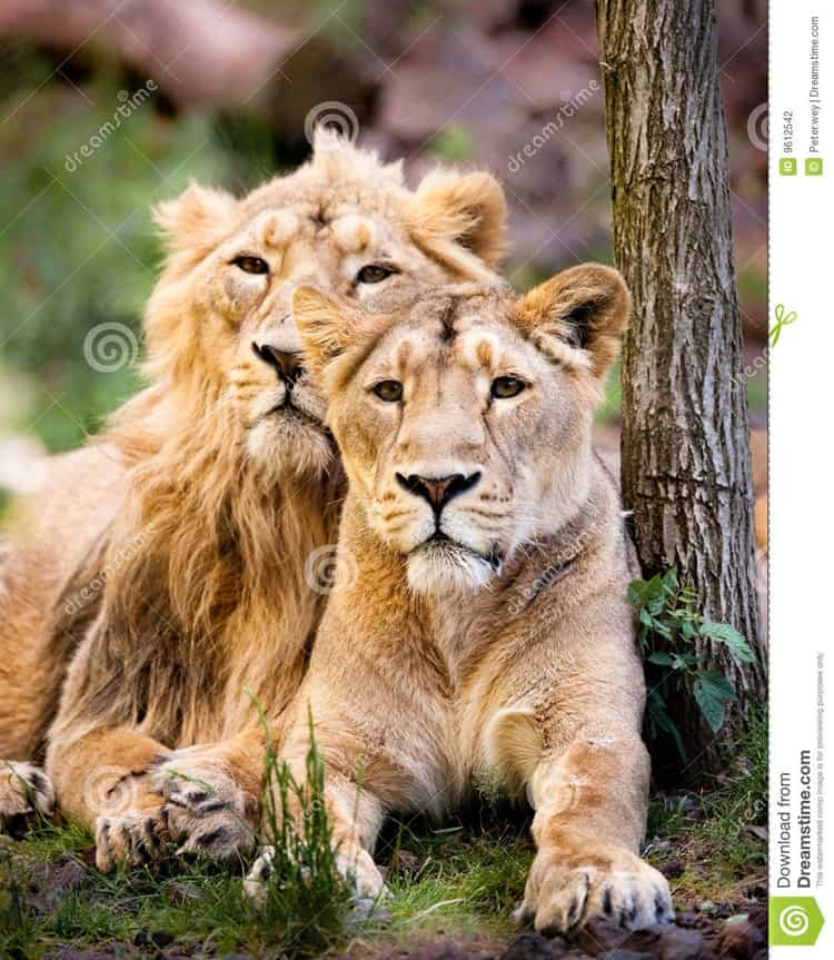 Lion And Lioness The Royal Couple At Their Best Tail