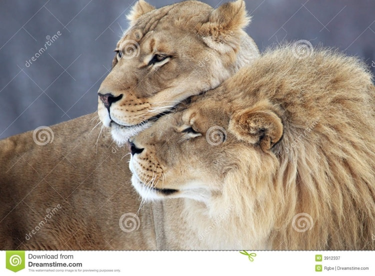 http://www.dreamstime.com/royalty-free-stock-photography-lion-lover-image3912337