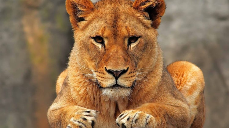 lioness-high-definition-wall-photos