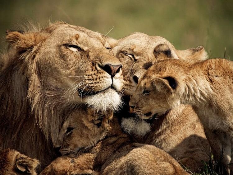 lions-cubs-kenya_53922_990x742