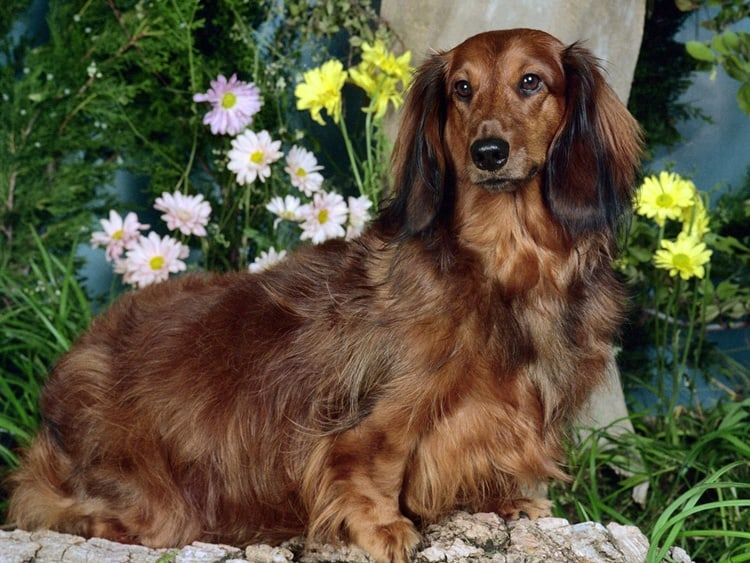 long life span dog breeds (5)