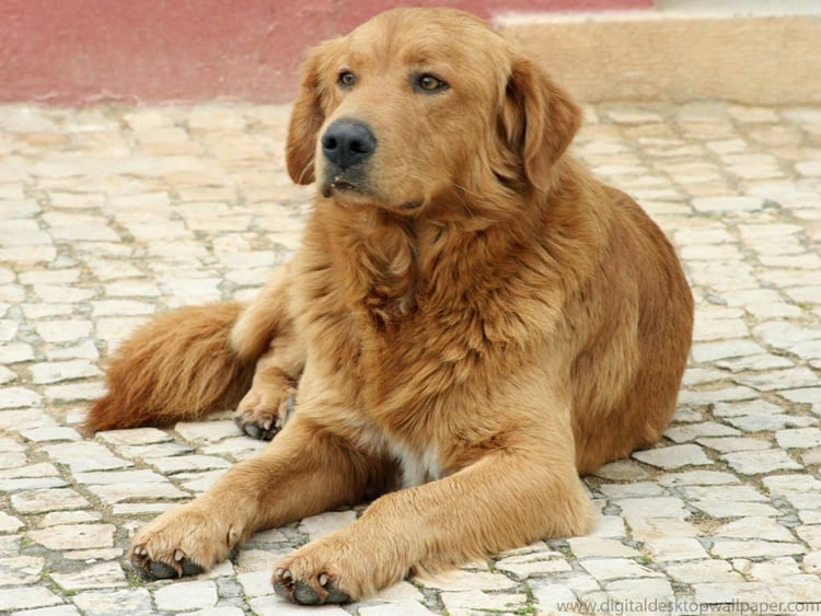 long life span dog breeds (8)